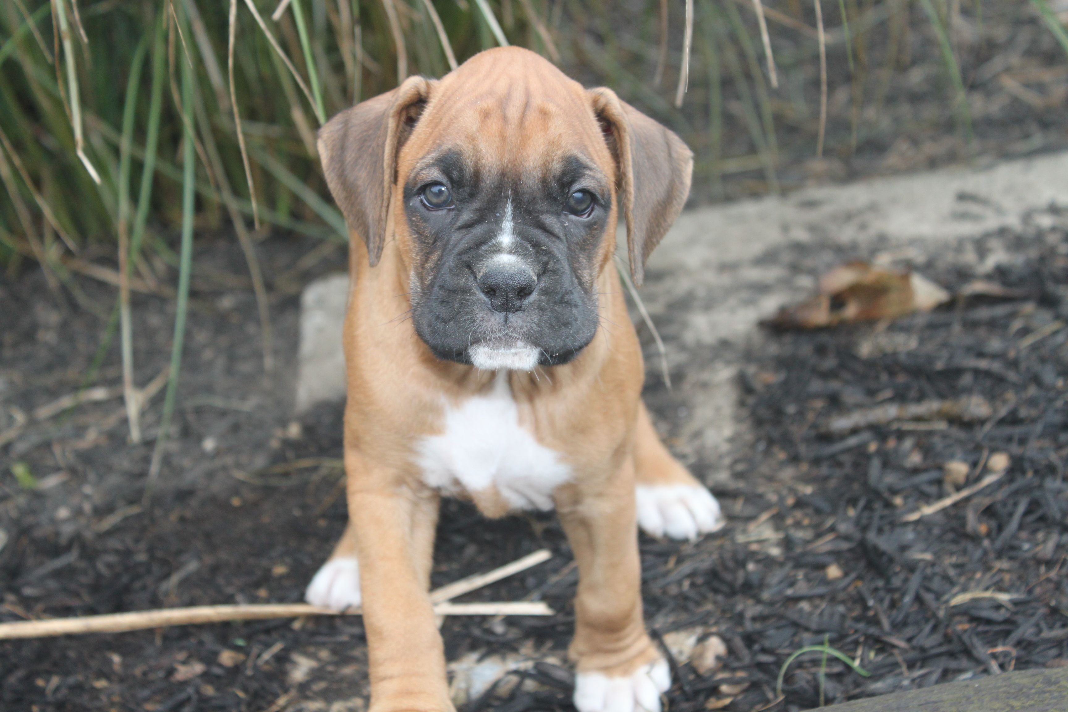 Pin By Susan Flagg On Boxers Boxer Puppies For Sale Boxer Puppies Cute Boxer Puppies