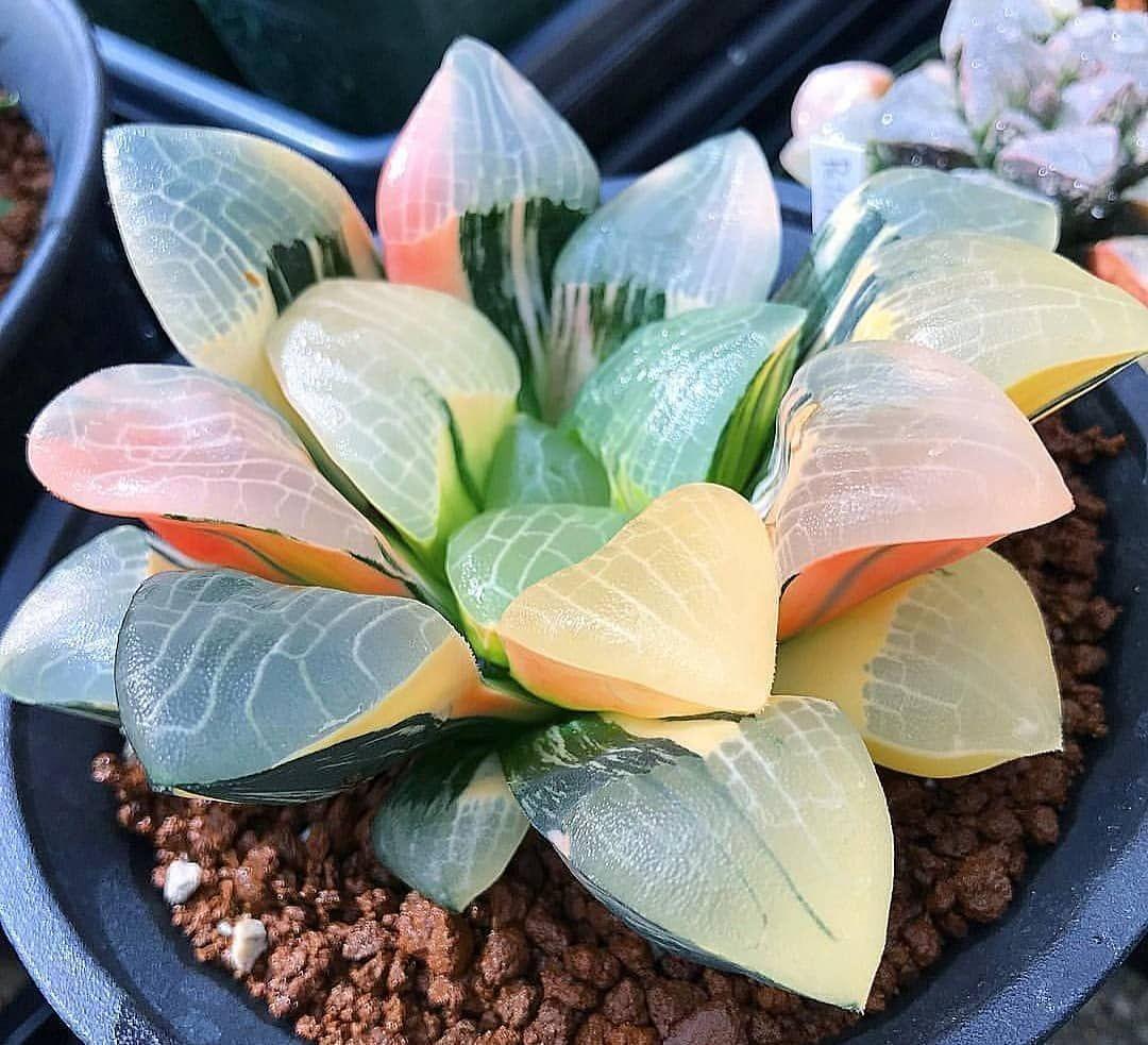 Plants Bank Plants Database Plante Succulente
