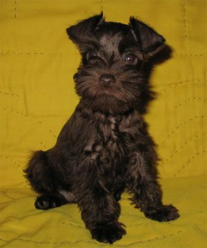 Just One More Baby And I Promise I Am Done Very Cute Puppies Schnauzer Puppy Miniature Schnauzer Puppies