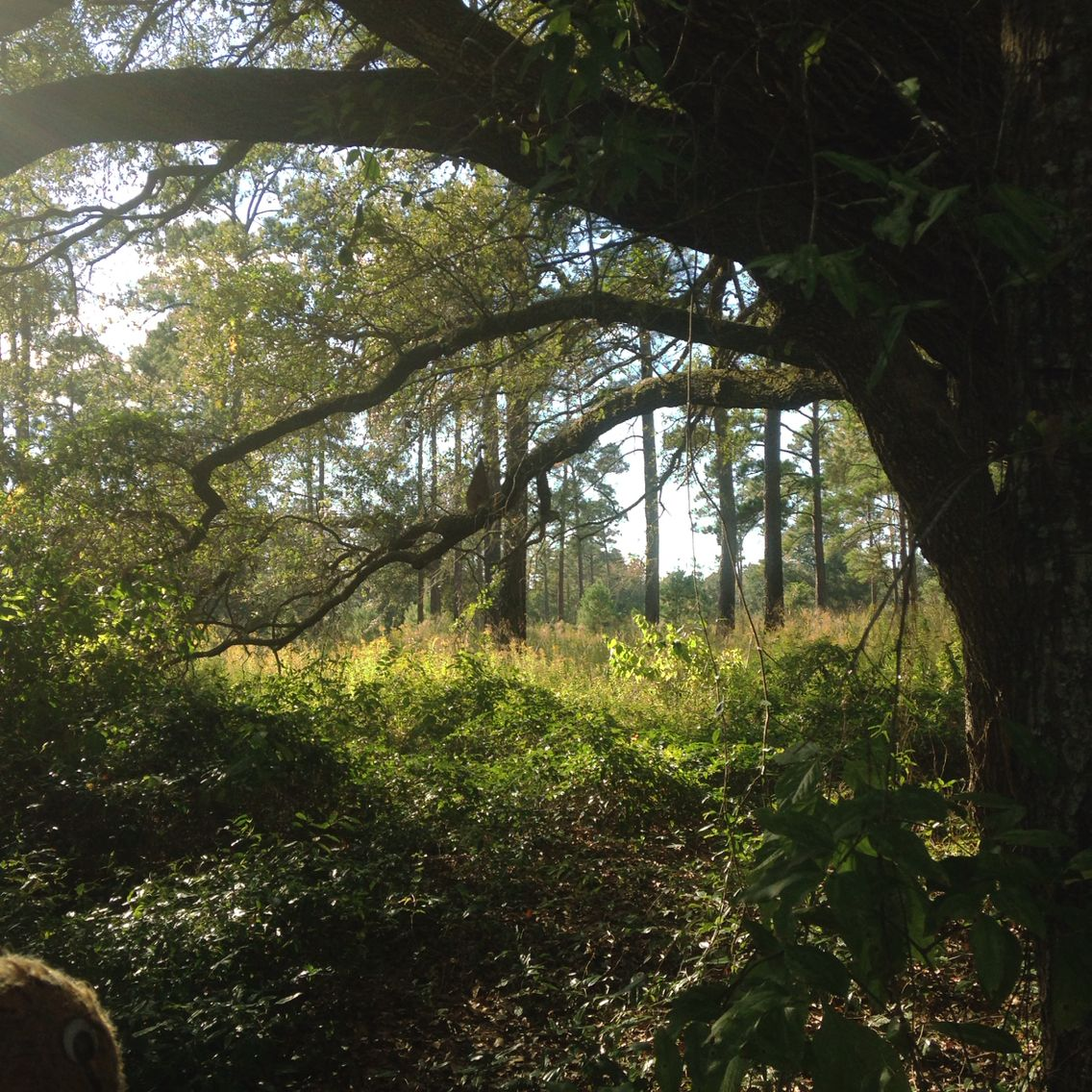 Swampy's #Florida Live: a walk in the woods near Greenville up here in the Panhandle.