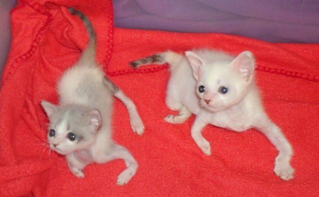Rescued Kittens With Twisty Limbs Http Www Armykitty Com Curly Sue And Pretzel The Twisty Kittens With Images Kittens Kitten Rescue Kitten Names