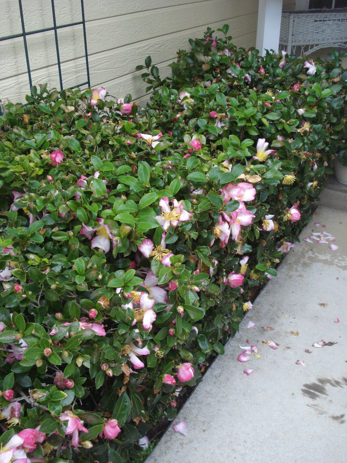Camellia as a hedge for in front of the porch front garden
