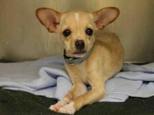 NOONOO is an adoptable Chihuahua Dog in Atlanta, GA.  ...