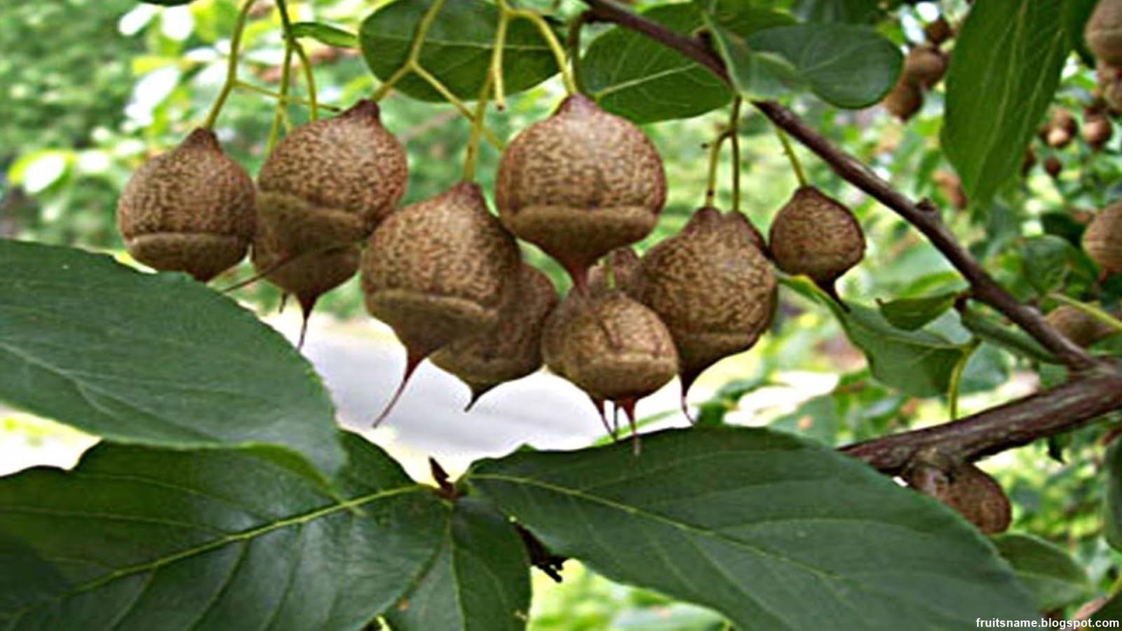 Image result for xylocarp fruit (With images) Fruit list