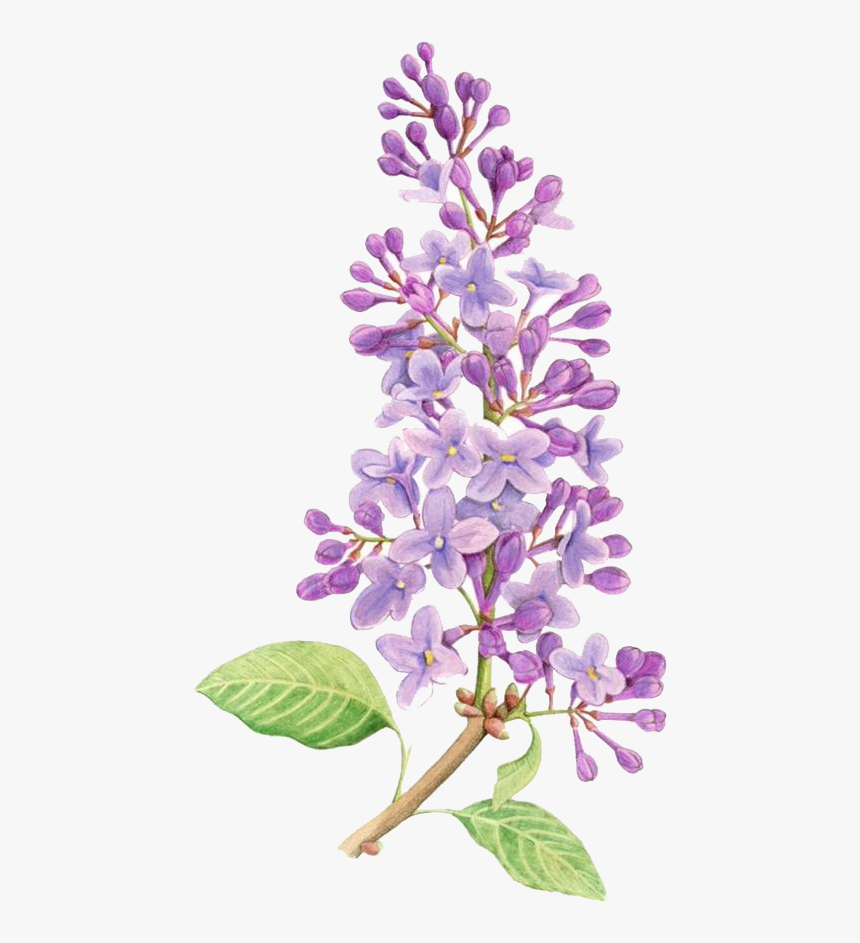 Lilac Flower Drawing Tattoo Watercolor Painting Simple Lilac Flower Drawing Hd Png Download Is Free Transp In 2020 Vintage Flower Tattoo Lilac Painting Lilac Tattoo