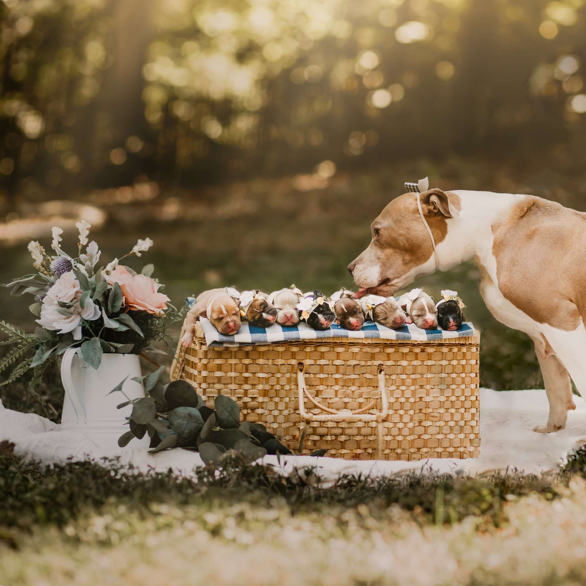 Rescue Pittie Is Glowing In Her Very Own Maternity Shoot In 2020 Pregnant Dog Dog Photoshoot Puppy Litter