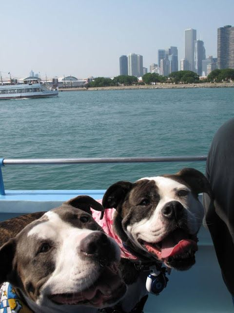 Two happy pooches cruising on Chicago's on Canine Cruise! Via Two Pitties in the City: Chicagoing: Mercury Canine Cruise