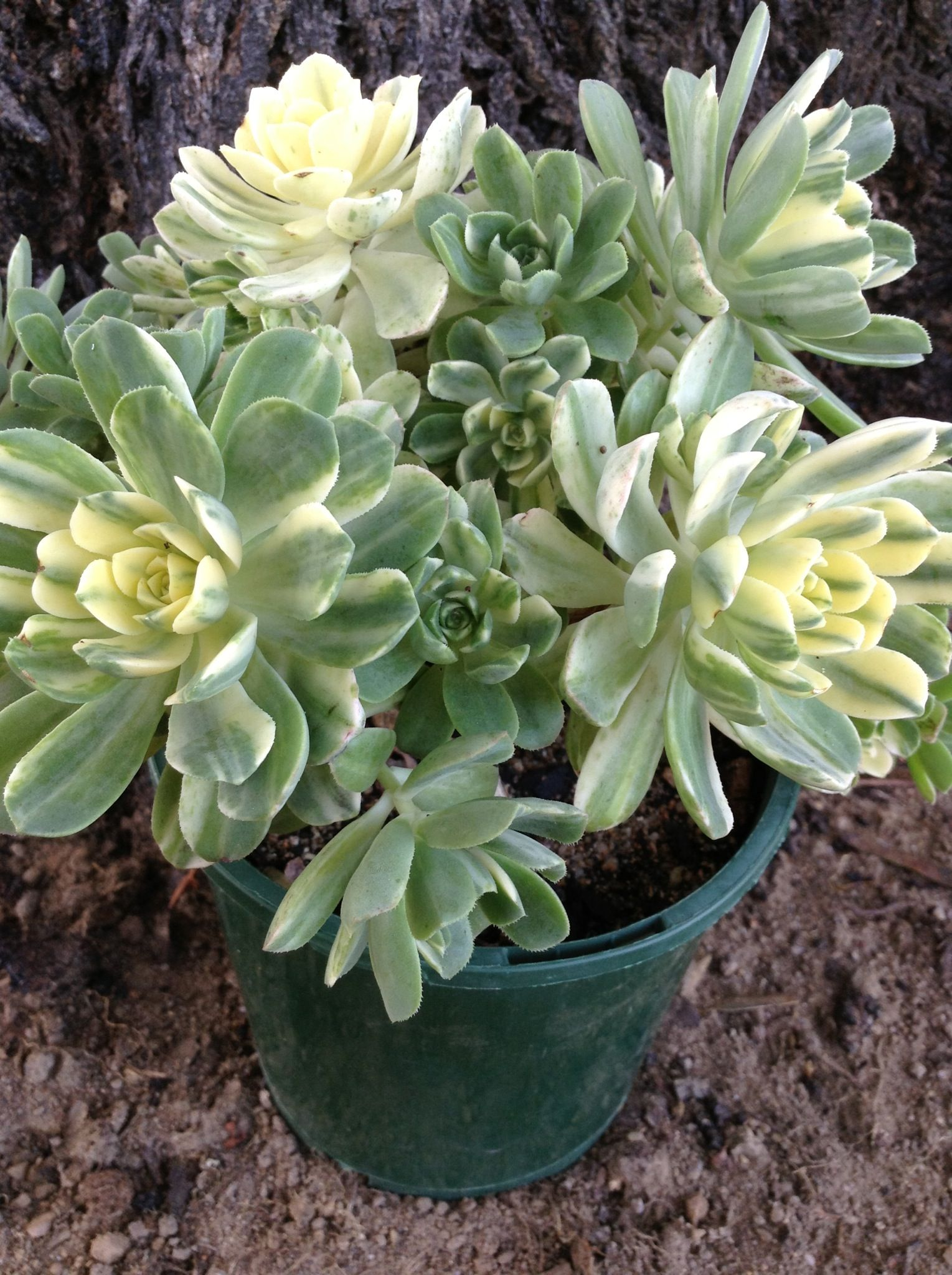 Aeonium Castello Paivie F Variegata Suncup Hardy To 25 Degrees, Sun