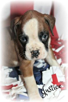 Litter Of 9 Boxer Puppies For Sale In Clayton Nj Adn 29852 On