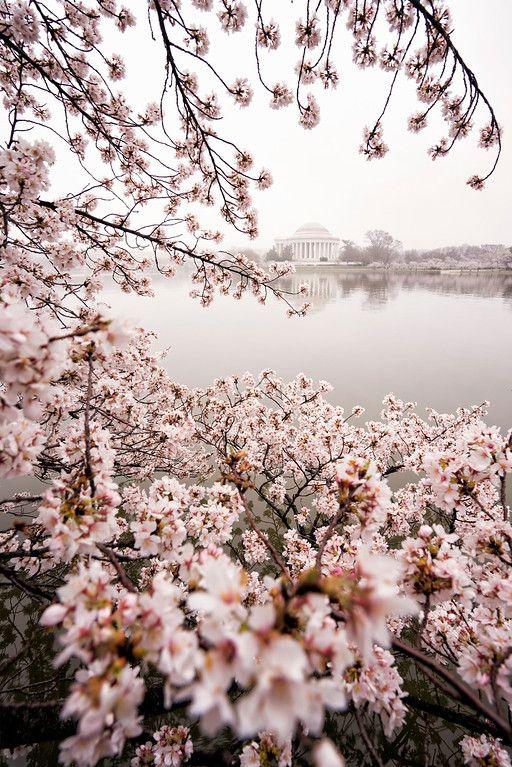 Cherry Blossoms In Washington Dc Abpan Cherry Blossom Washington Dc Washington Dc Photography Cherry Blossom Festival