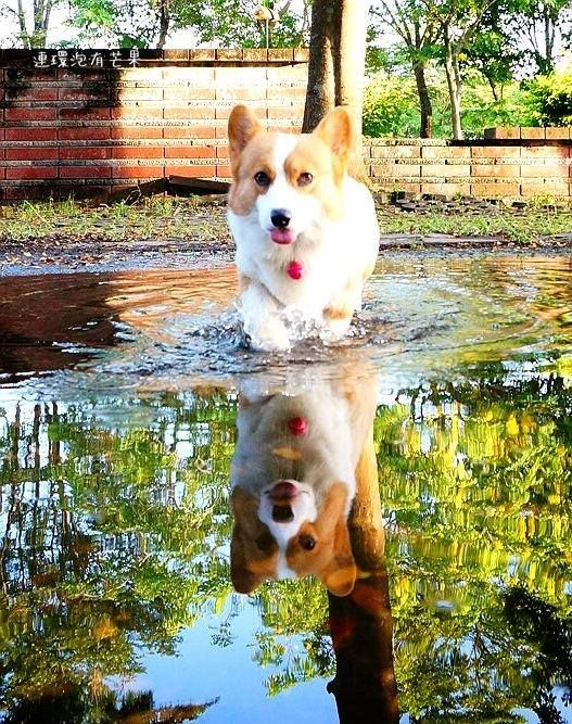 This corgi is so cute we get to see two. Z