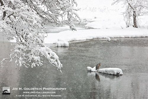 Blue Heron in Snow Storm - Yosemite National Park  via Jim M. Goldstein  http://www.jmg-galleries.com