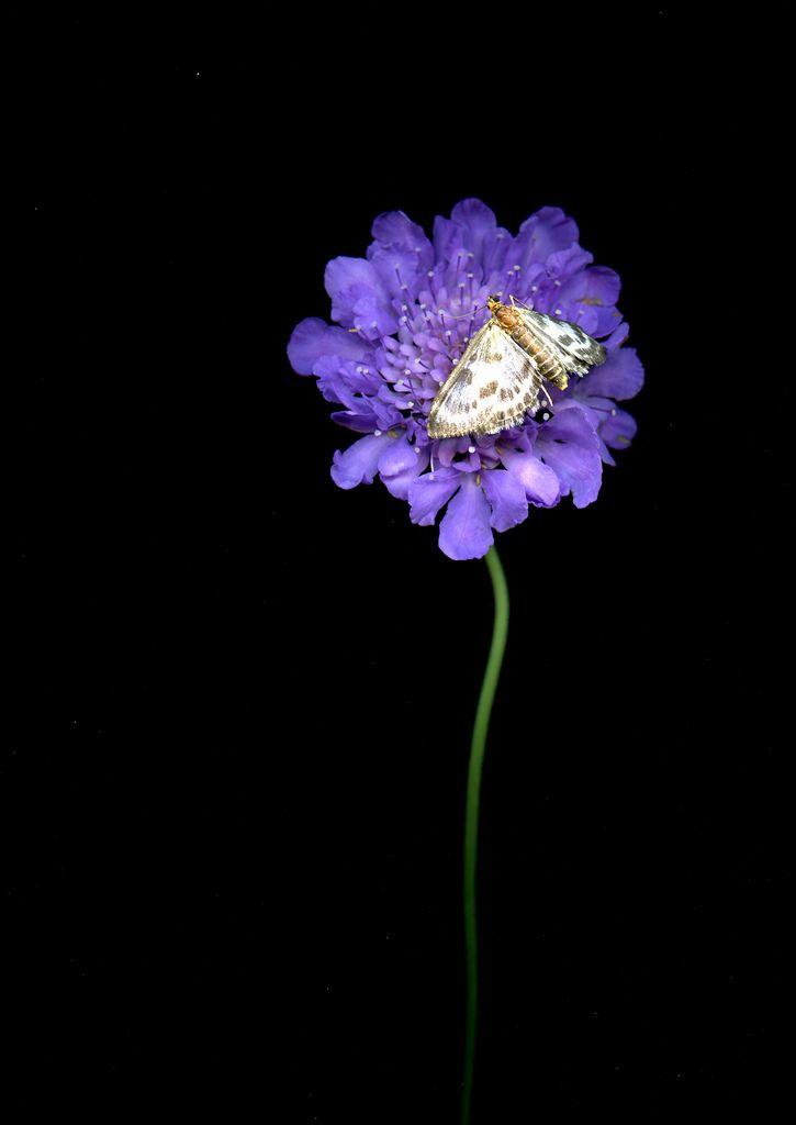 30418 Scabiosa, moth