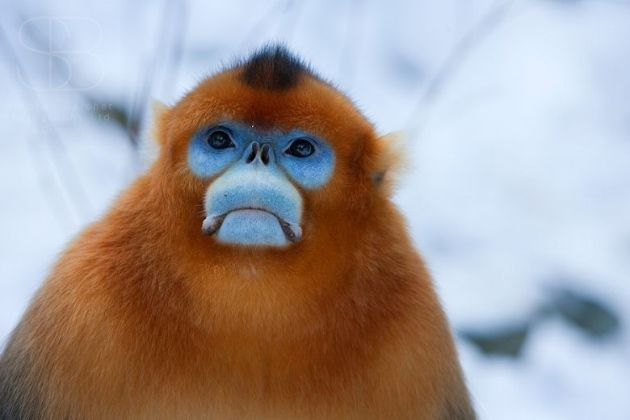 a9e888d5fc Golden Snub-nosed Monkey (Rhinopithecus roxellana), Zhouzhi Nature Reserve,  Qinling Mountains, China, horizontal, face, close up, orange, fur, blue,  eyes, ...