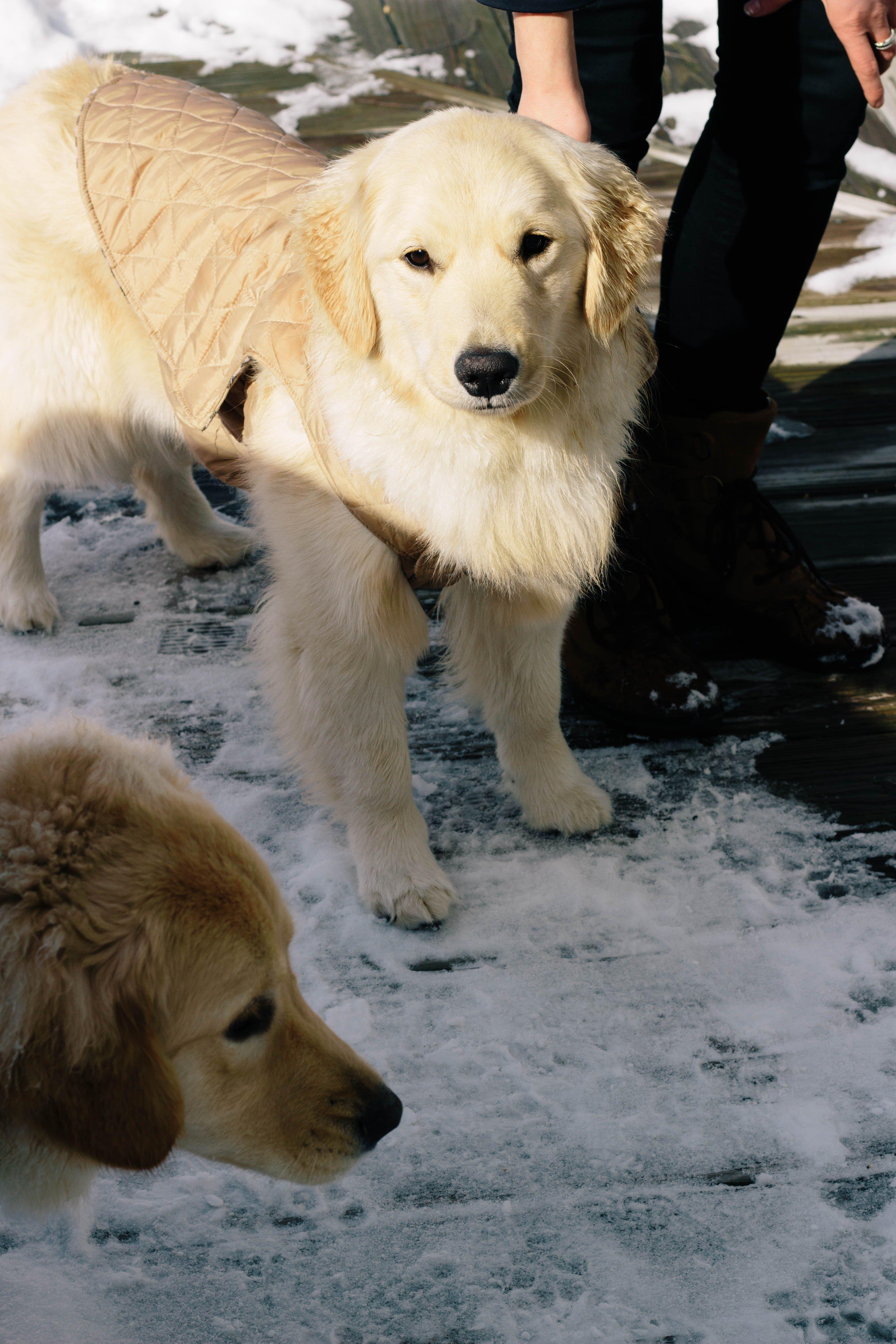 Golden Retriever Puppies In The Snow Golden Retriever Breed
