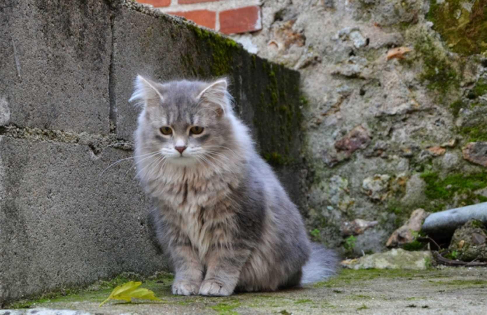 Mysterious Russian Blue Cat Gallery Ideas Siberian