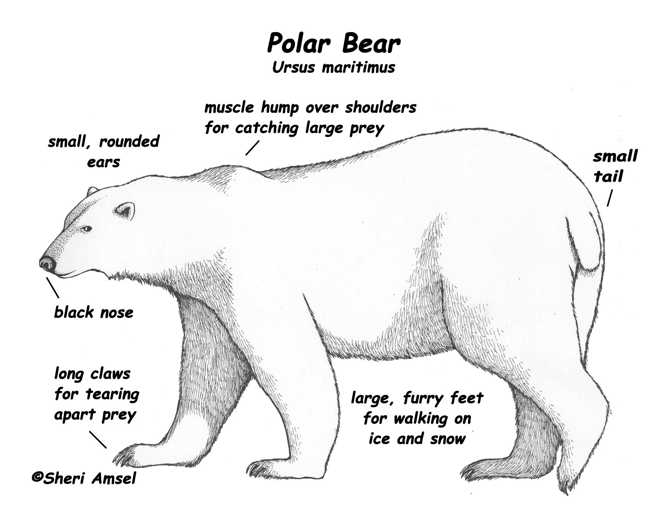 Polar animals coloring pages for kids - Polar Bear