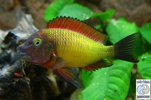 Pin By Marjorie Miller On African Cichlids Tropheus Cichlids African Cichlids African Cichlid Aquarium