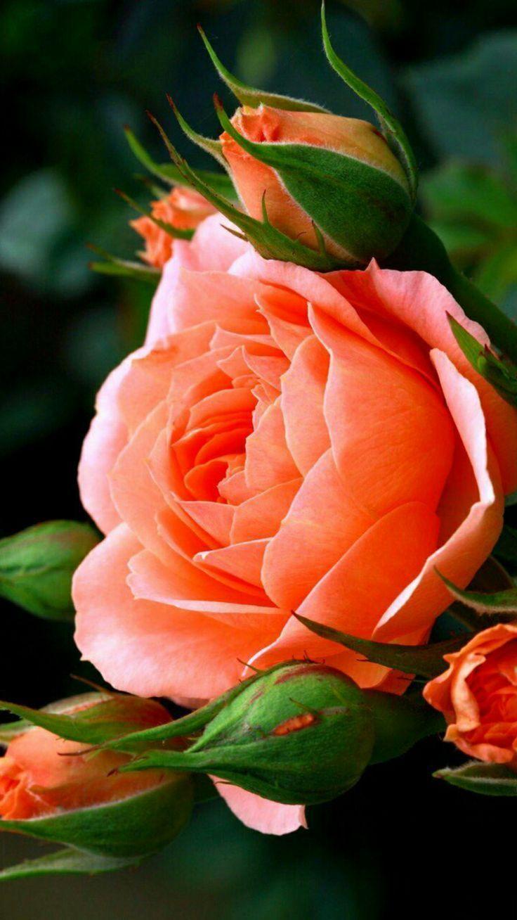 eine wunderschöne lachsfarbene Roseblüte Foto #exoticgardenideas  - Blumen - #Blumen #Eine #exoticgardenideas #Foto #lachsfarbene #Roseblüte #Wunderschöne #schöneblumen