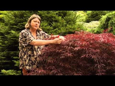 How To Prune Japanese Maples Instructional Video W Plant Amnesty Youtube In The Pacific North Pruning Japanese Maples Japanese Maple Tree Japanese Maple