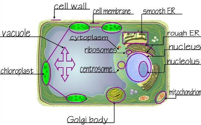 Plant cell diagram cells alive wiring library long term project with several tie ins to weeks 1 12 science rh pinterest com au animal cell diagram plant cell diagram not labeled ccuart Image collections
