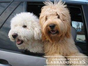 20130531 018watermark Labradoodle Breeders Labradoodle Labradoodle Miniature Puppies