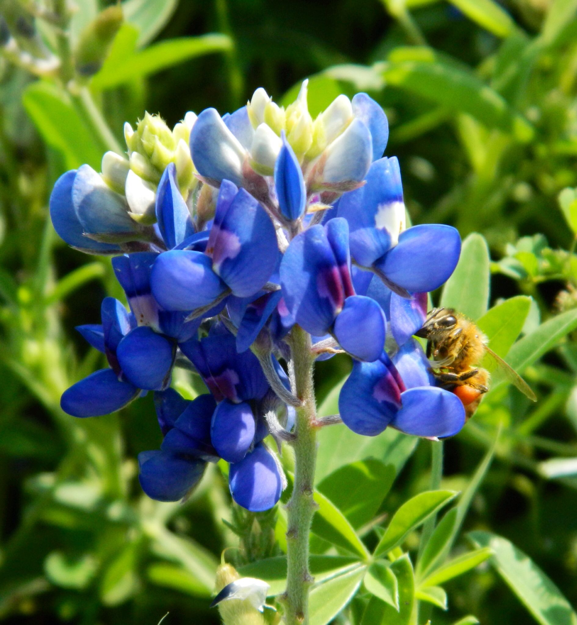 Bees love bluebonnets too!   My favorite  time of the year in Texas will always be the wildflower season.
