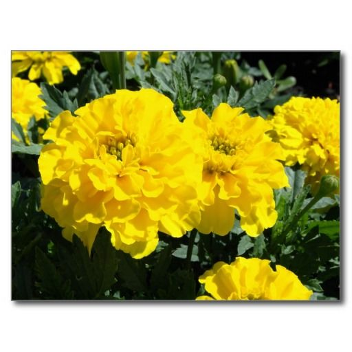 Yellow Marigold Flowers Post Cards - $1.08 - Yellow Marigold Flowers Post Cards - by RGebbiePhoto @ zazzle - #marigold #flower #garden - Several yellow marigold flowers growing in a garden.