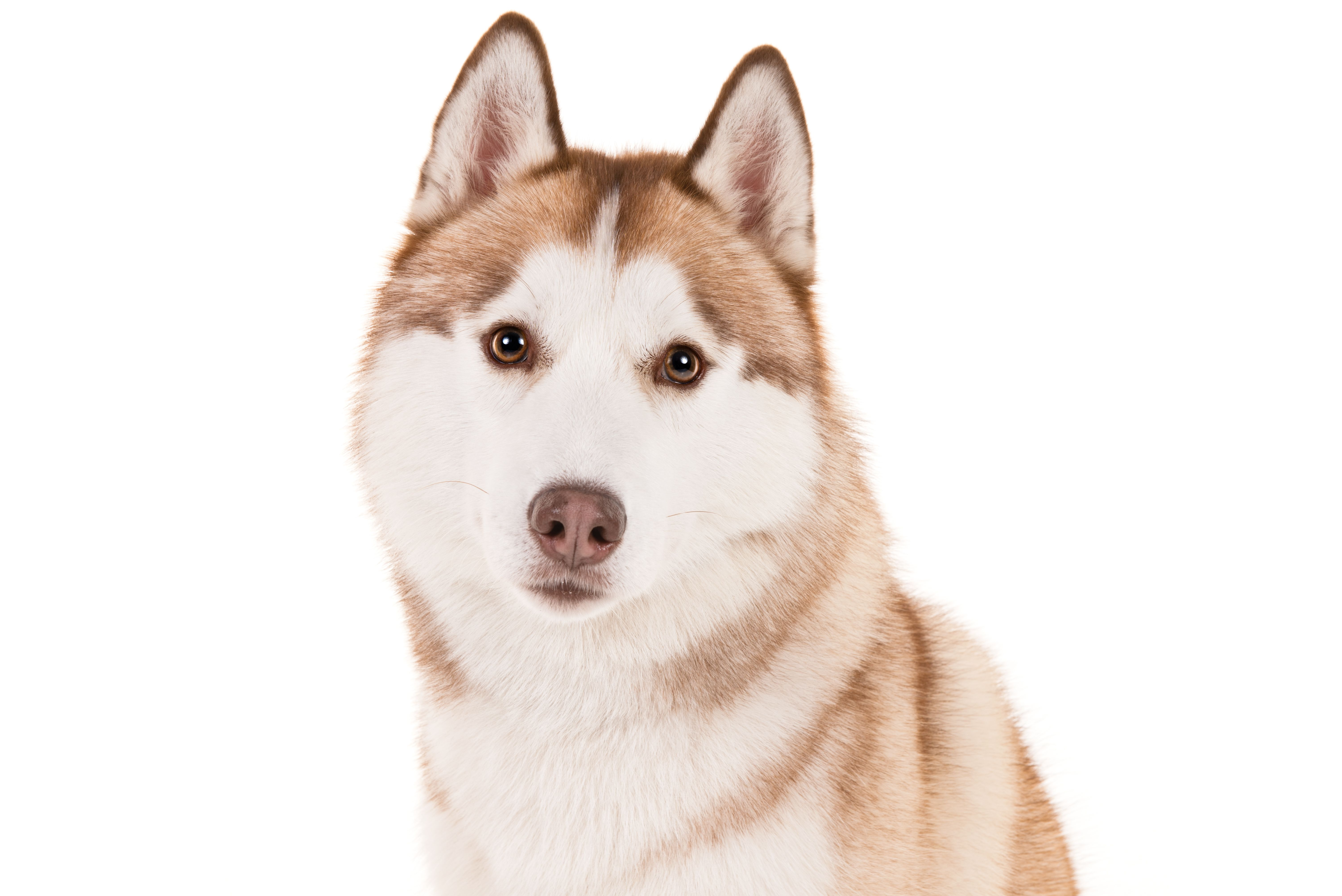 10 Reasons Why The Siberian Husky Is An Amazing Breed Siberian