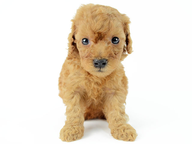 トイプードル 茅ヶ崎店 P S First 子犬や子猫を最優先に考えたペットショップ トイプードル 子猫 ペットショップ