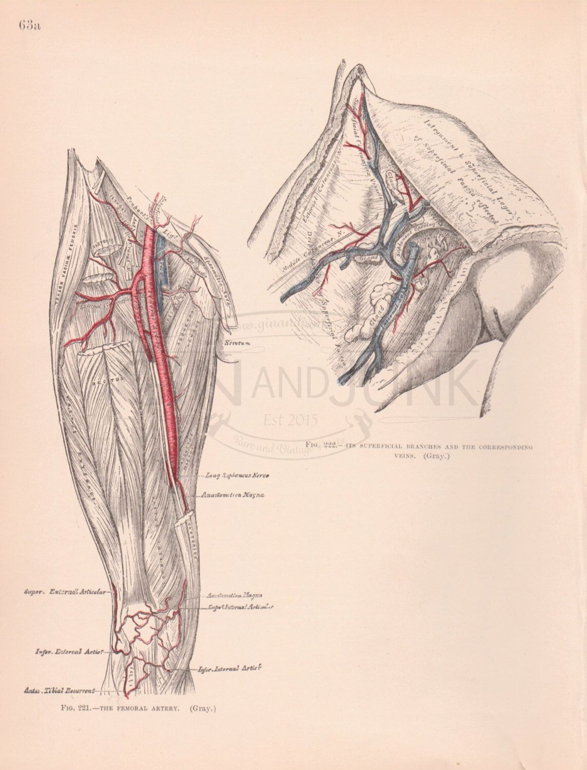 Antique Artery Print - Antique Human Leg arteries and veins from ...