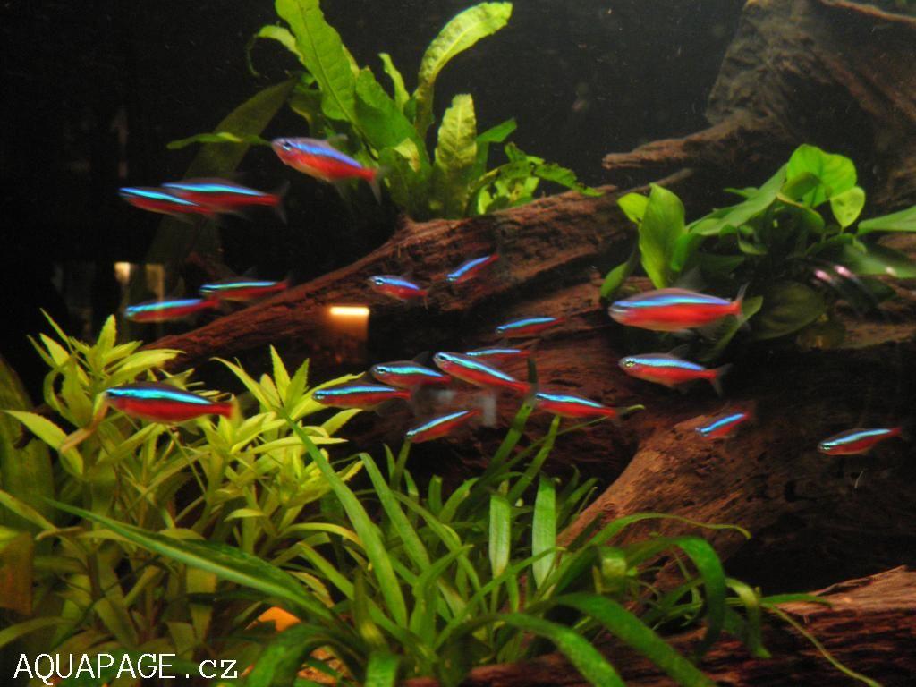 Red neon paracheirodon axelrodi cheirodon axelrodi for Neon aquarium