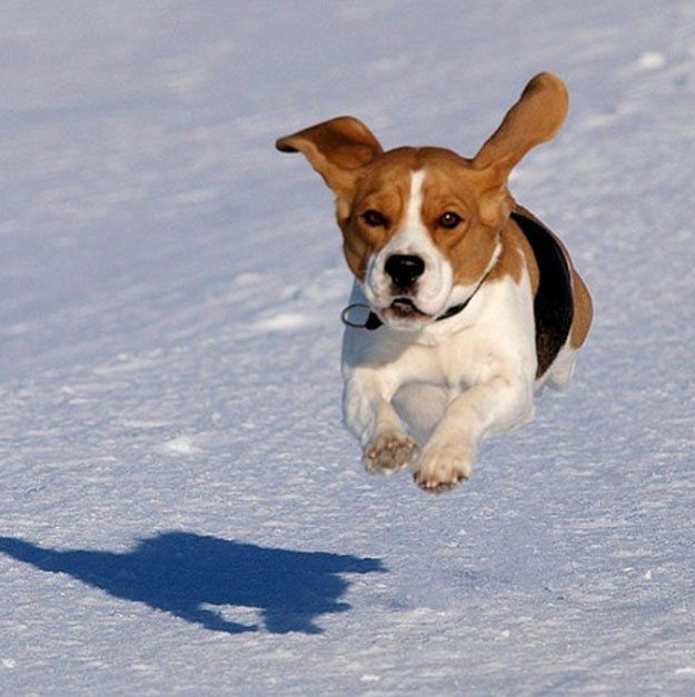 The Do S And Don Ts Of Beagle Hunting Beagle Dog Beagle Hunting