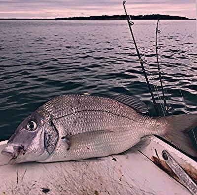 Porgy Fish Recipes The Urge for Porgy  The East Hampton Star  Marine Edible Fish Part 2