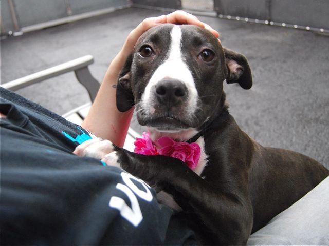 Lola A1081120 Dog Adoption Pitbulls I Love Dogs