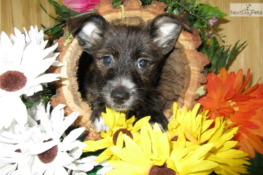 Mixed/Other puppy for sale near Chicago, Illinois