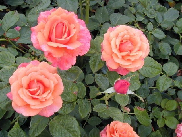 Simple Rose Garden: East Texas Gardening
