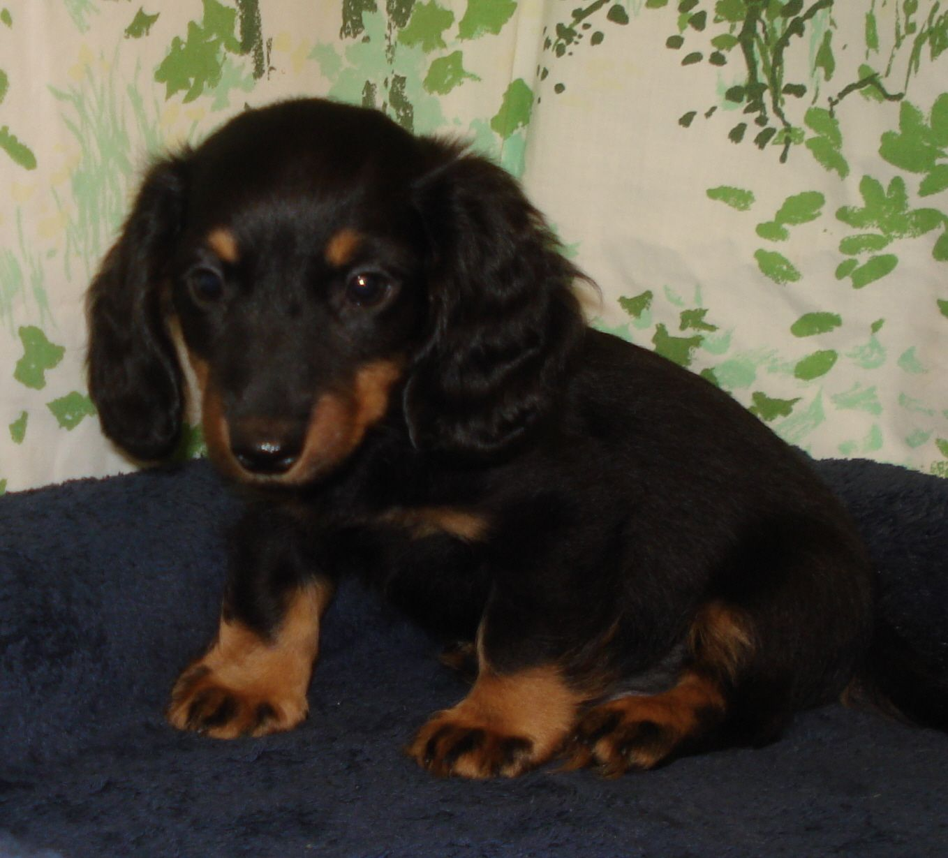 Lost Dog Mound Dachshund Long Haired Chihuahua Mix Male Date Lost 07 07 2019 Dog S Name Beans Breed Of Dog Dachshund Long Hair Losing A Dog Dog Ages Dogs