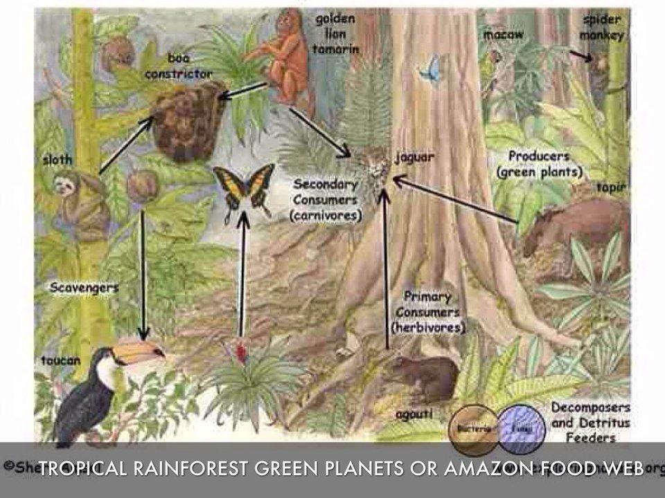 Jaguar Rainforest food web, Rainforest food chain