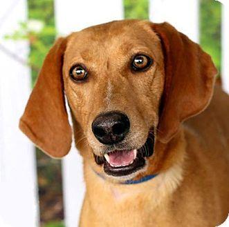 Houston Tx Vizsla Coonhound Mix Meet Liffey A Dog For Adoption