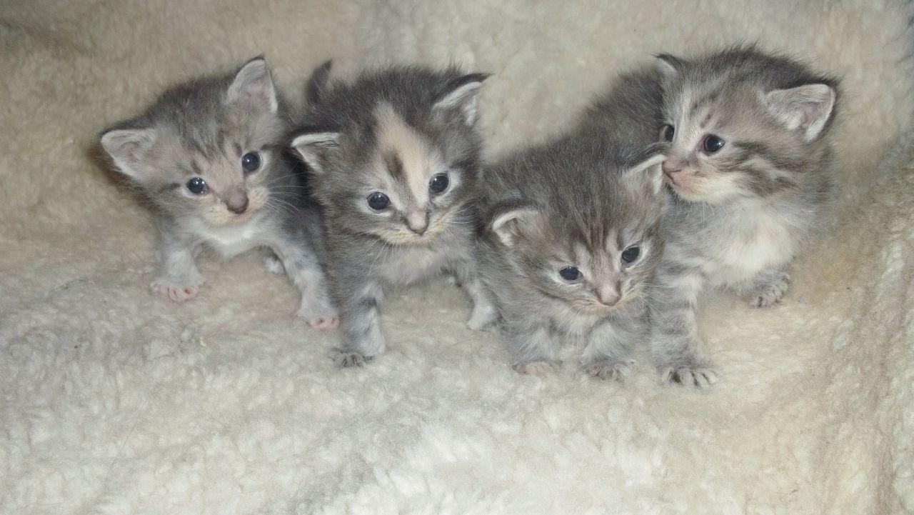 Grey American Shorthair Kittens American Shorthair Cat And Kittens American Shorthair American Shorthair Cat American Shorthair Kitten American Shorthair