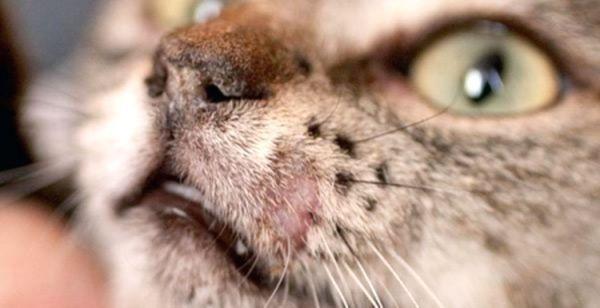 How To Treat Ringworm In Cats S Izobrazheniyami Koshki Sobaki