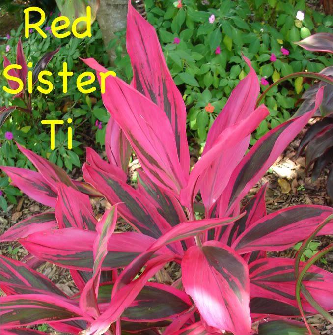 ~Red Sister~ Hawaiian Ti COLORFUL Cordyline terminalis ...
