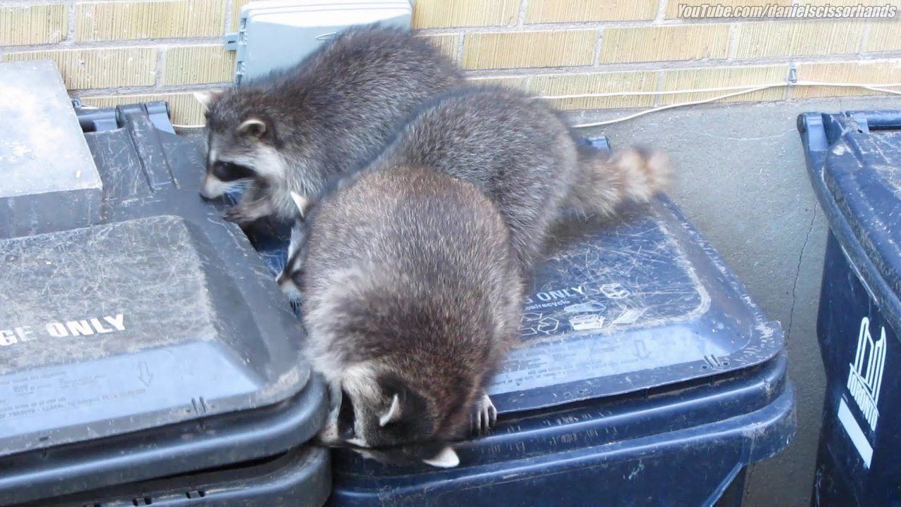 How To Get Rid of Raccoons Getting rid of raccoons, How