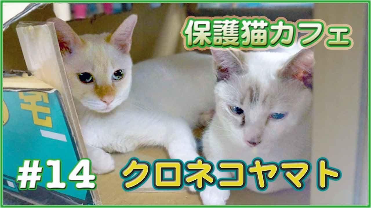 猫は何処に乗る クロネコヤマトの段ボールトラック 猫カフェ動画 14 Cat Cafe Japan Cats Playing With A Box 猫 カフェ 猫 子猫