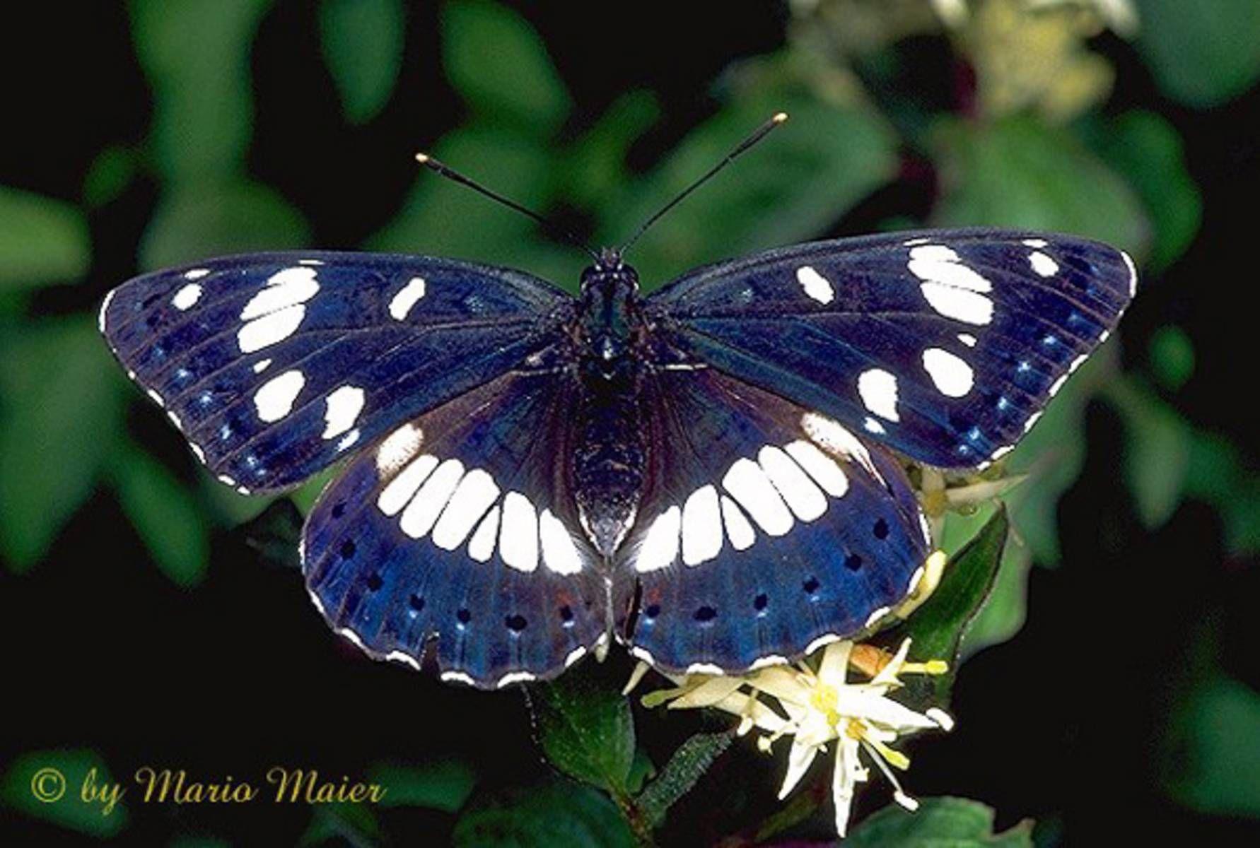 ButterflyCorner.net: Limenitis reducta ( Souther White Admiral, Blauschwarzer Eisvogel, Le Sylvain Azure)