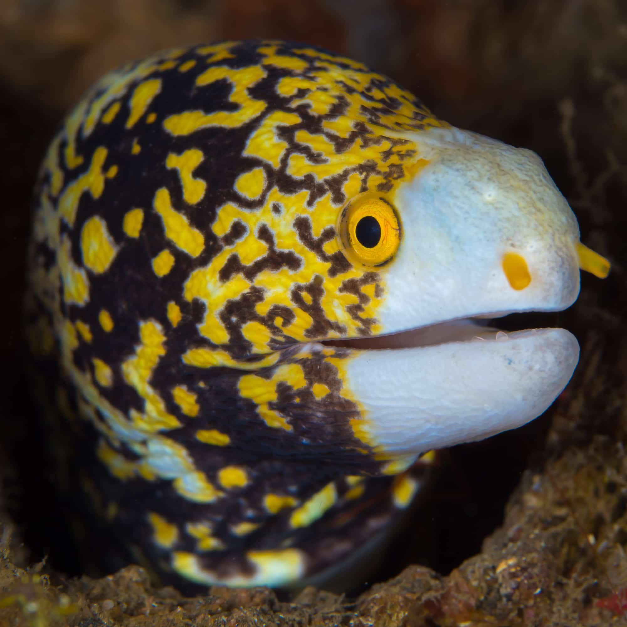 Snowflake Eel Echidna Nebulosa Echidna Salt Water Fish Moray Eel