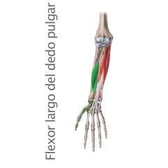 Mano Archivos Músculos Org Guía Anatómica De Los Músculos Del Cuerpo Musculos Músculos Del Cuerpo Humano Musculos Del Cuerpo