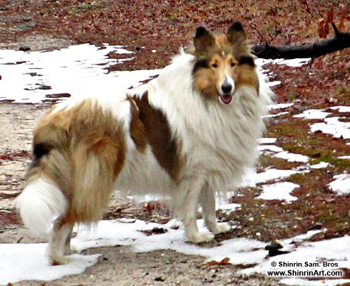 All About Collies Rough And Smooth Scottish Collies Aka Lassie