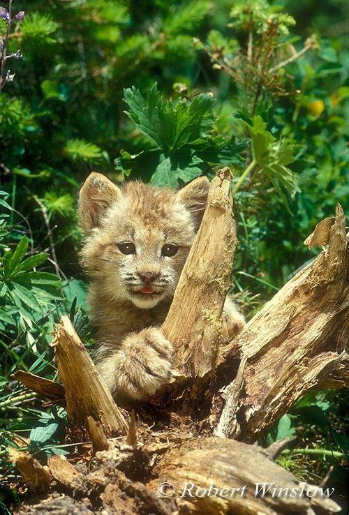 Canadian Lynx Kitten by Robert Winslow via reddit :) | lynx